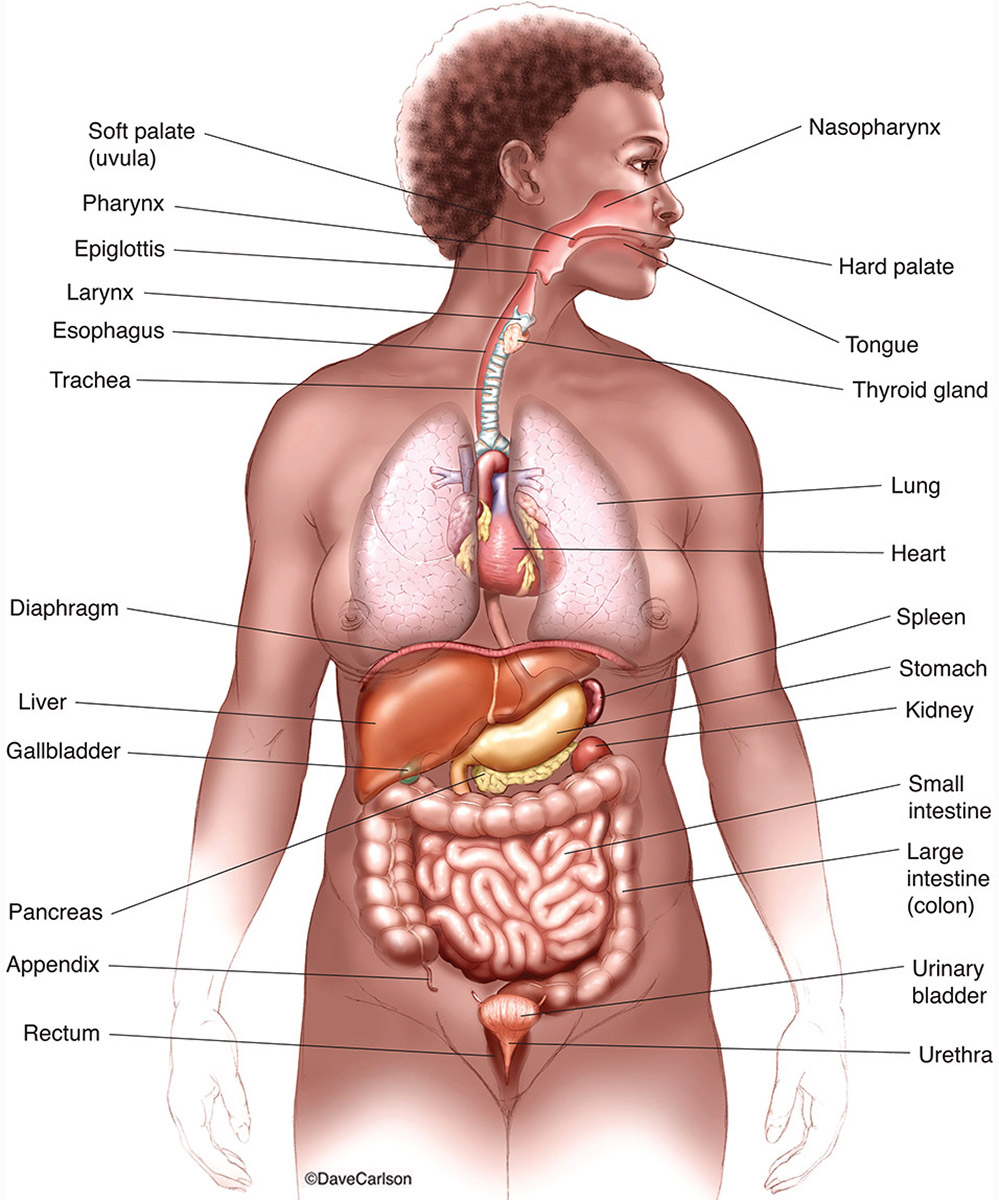 Major Internal Organs | | Carlson Stock Art