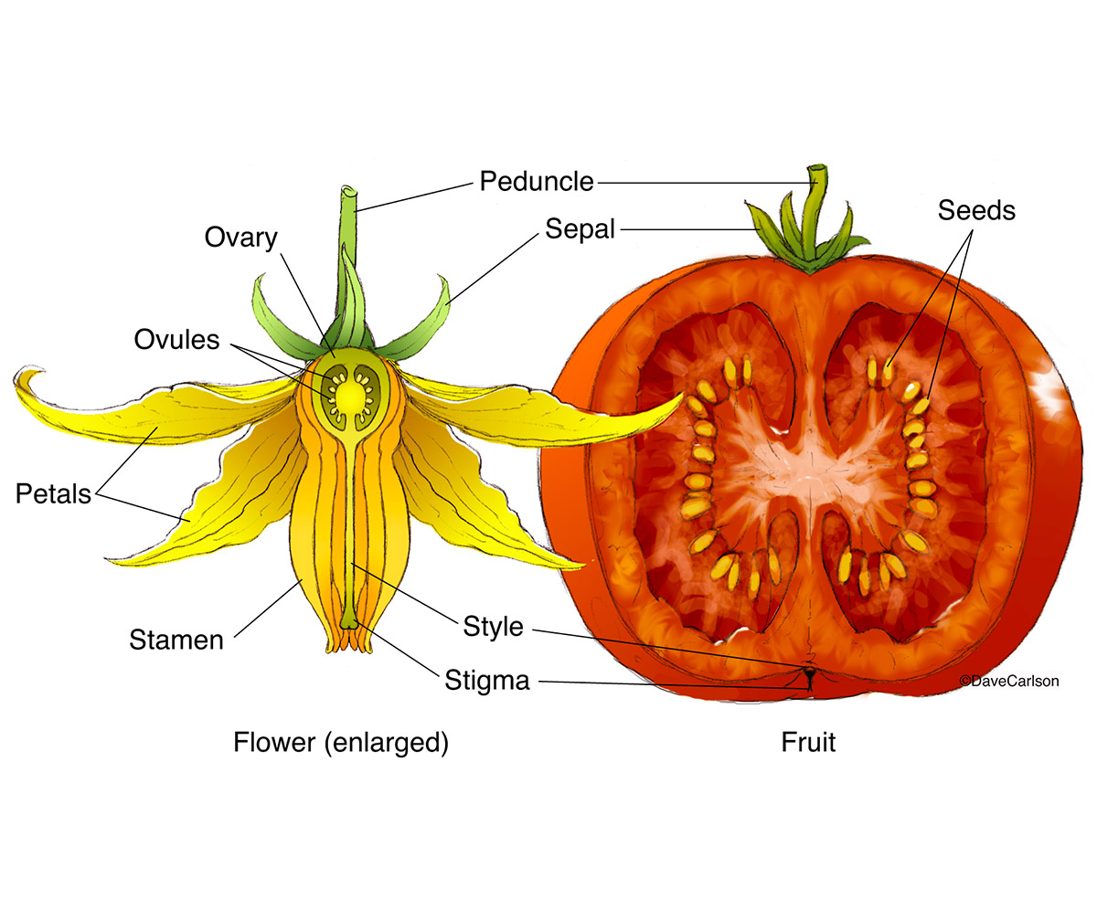 illustration, fertilized tomato flower, mature fruit, structure, photo