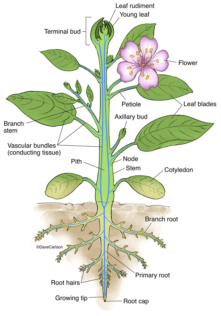 illustration of the structure of a generalized vascular plant, photo