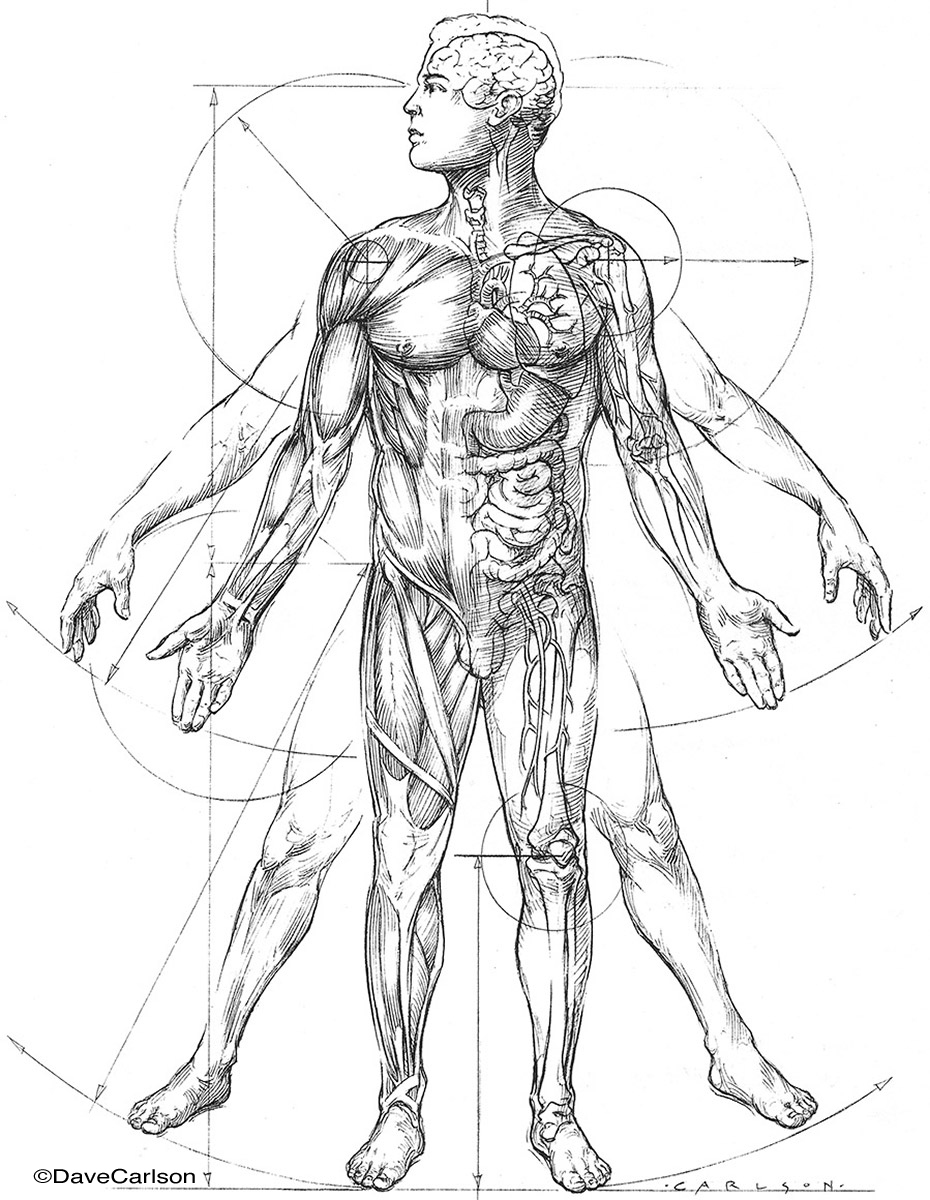 Anatomic Vitruvian Man Carlson Stock Art