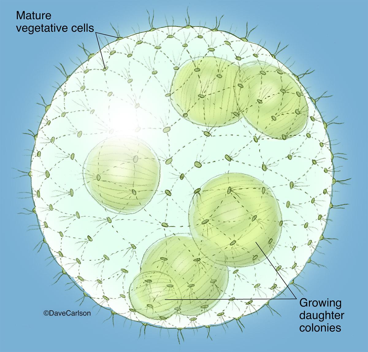 Illustration, volvox,  volvox colony, globe algae, green algae, algae, photo