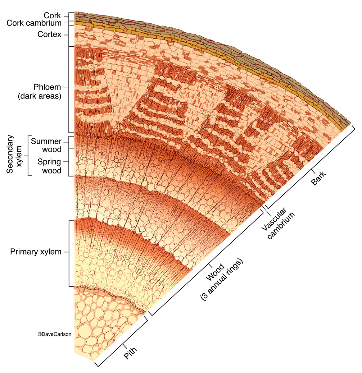 illustration, cross section, generalized, woody dicot stem, photo
